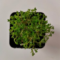 Selaginella unicinata