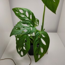 Monstera obliqua