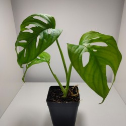 Monstera obliqua S